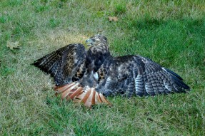 Diane's RED TAIL Hawk on Ground_1